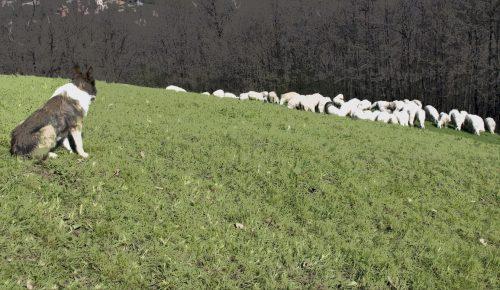 Sheepdog guarding the sheep