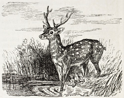 bigstock-Chital-old-illustration-Axis--31118537